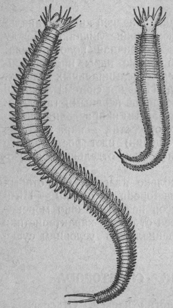 Рис. 135. Многощетинковый червь-нереида - Nereis pelagica. Слева - атокная форма, справа - эпитокная (самец).
