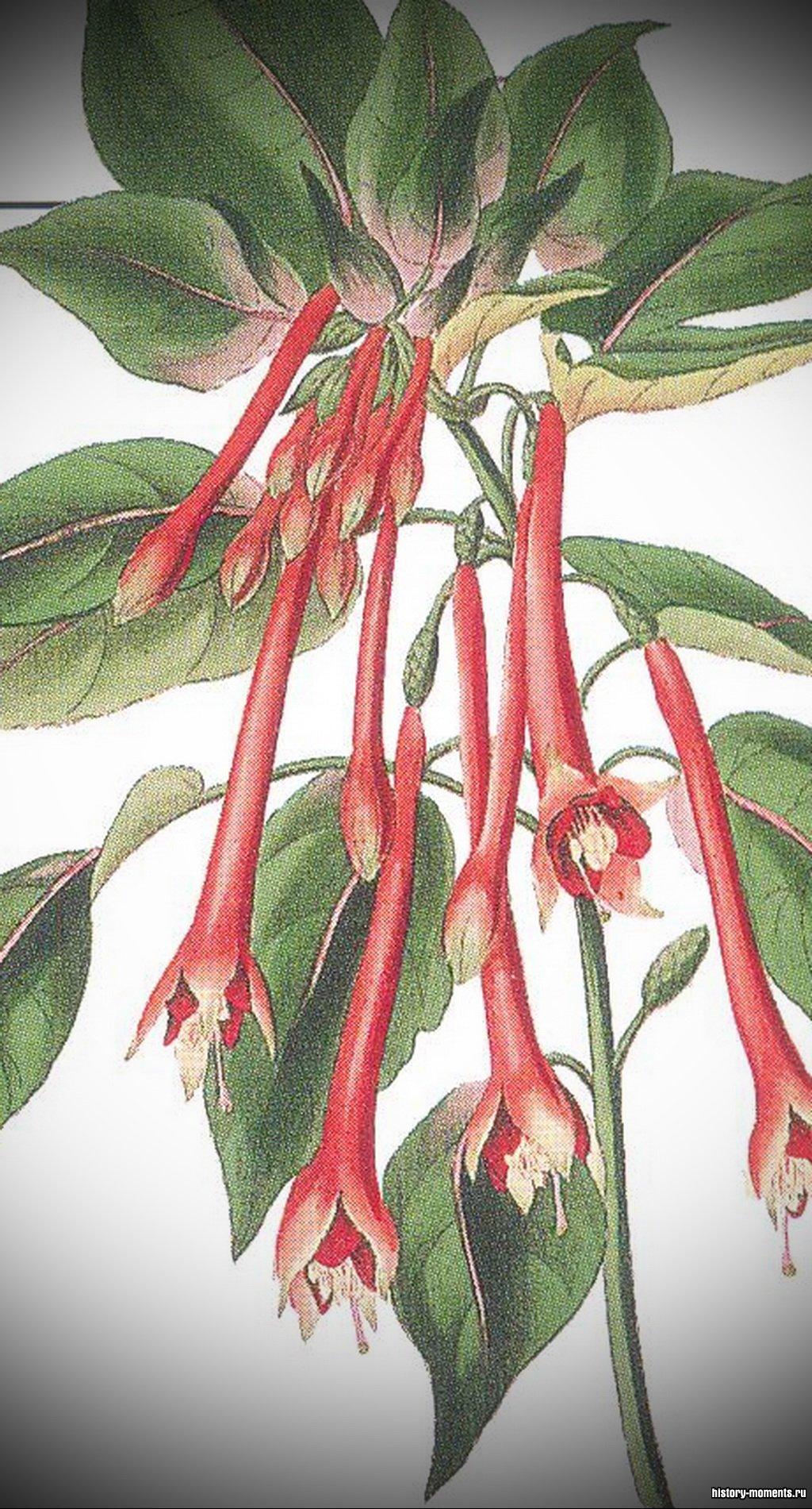 Научные названия растений пишутся по-латыни. Это Fuchsia (фуксия огненная) из каталога растений XIX в.